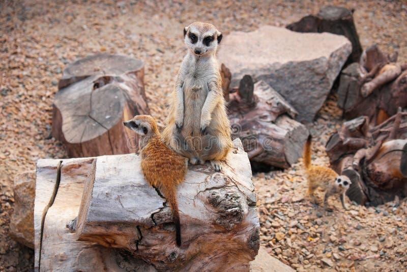 Animaux sauvages de Meerkats dans la cage du zoo photographie stock