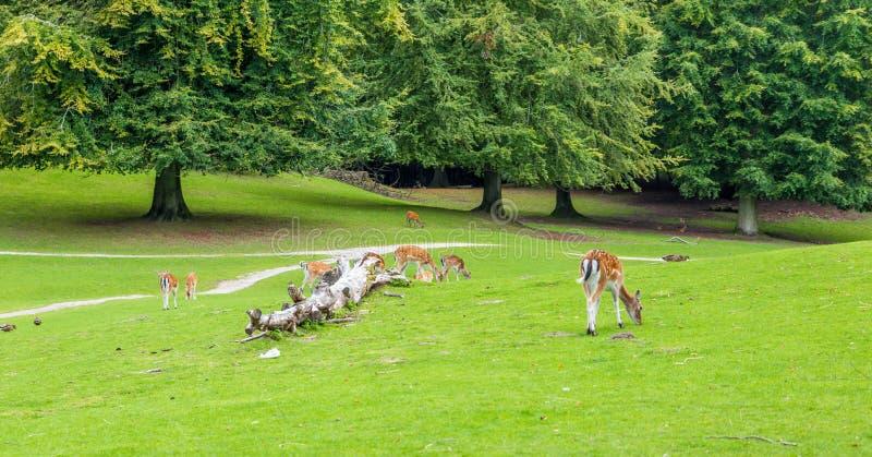 Animaux suivis blancs de faune de cerfs communs en nature image stock