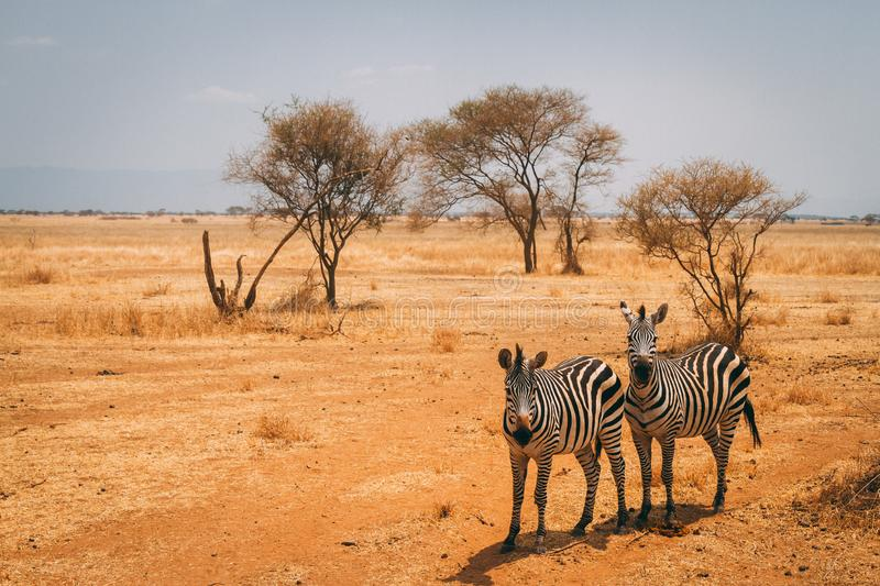 Animaux sur le safari en Tanzanie photo stock