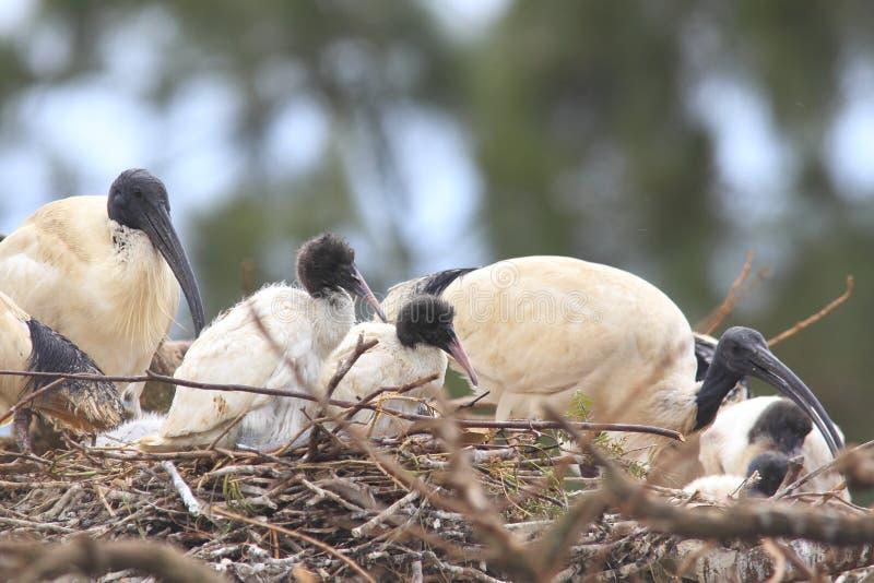Aninhamento branco dos juvenis de Ibis fotografia de stock royalty free