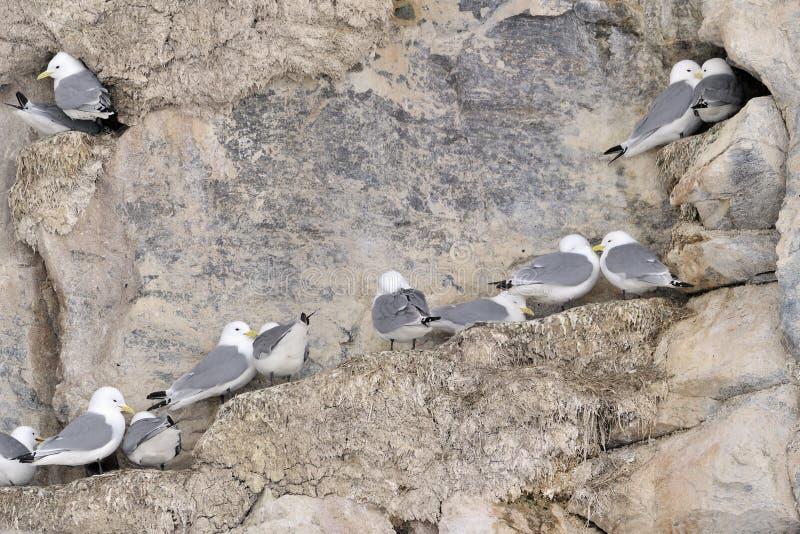 aninhamento Preto-equipado com pernas das gaivotas (tridactyla do Rissa) imagens de stock royalty free