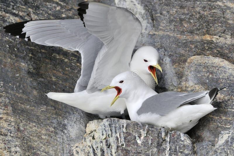 aninhamento Preto-equipado com pernas das gaivotas (tridactyla do Rissa) foto de stock