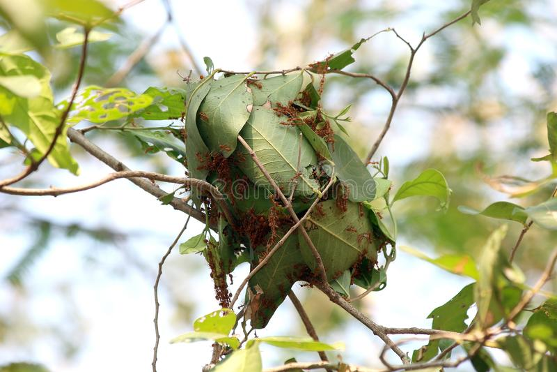 Aninhe a formiga, formigas aninham-se nas folhas verdes de uma árvore juntando-se junto imagem de stock