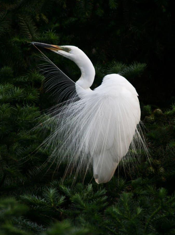 anioł egret zdjęcie stock