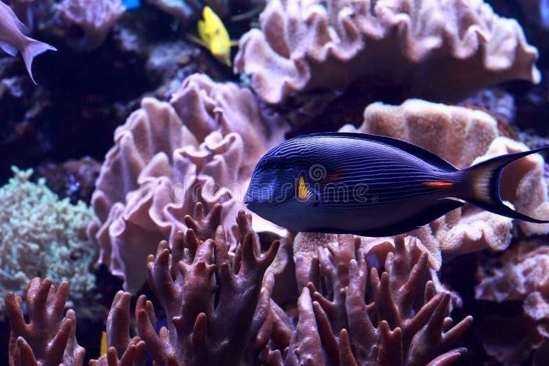 Anioł ryba obraz stock