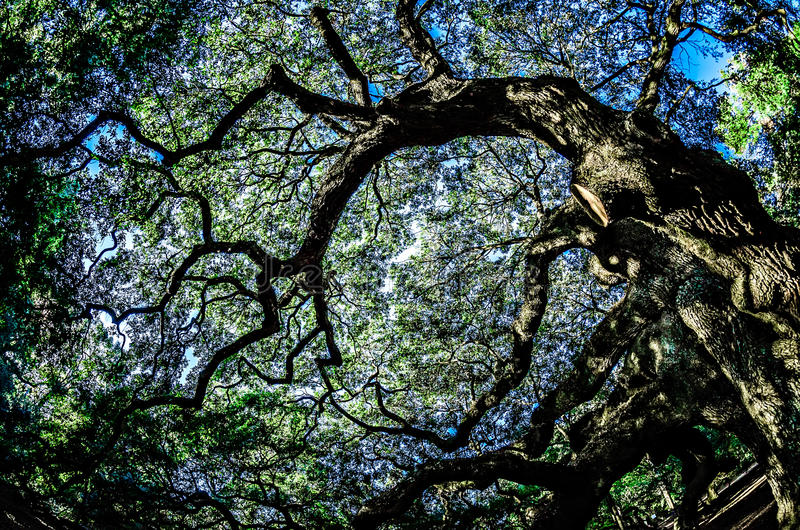 Anioła Dębowy drzewo na John ` s wyspie Południowa Karolina zdjęcia stock