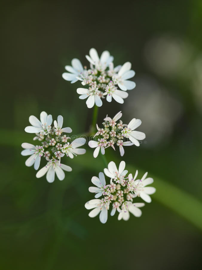 Download Anise flowers stock image. Image of environmental, anise - 27075707