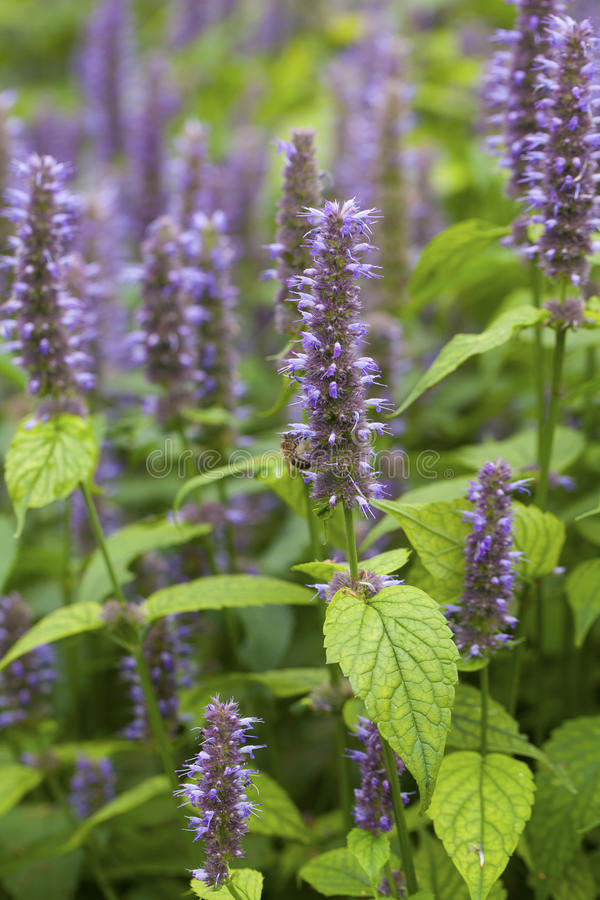 Free Anise Hyssop Royalty Free Stock Photo - 76252495