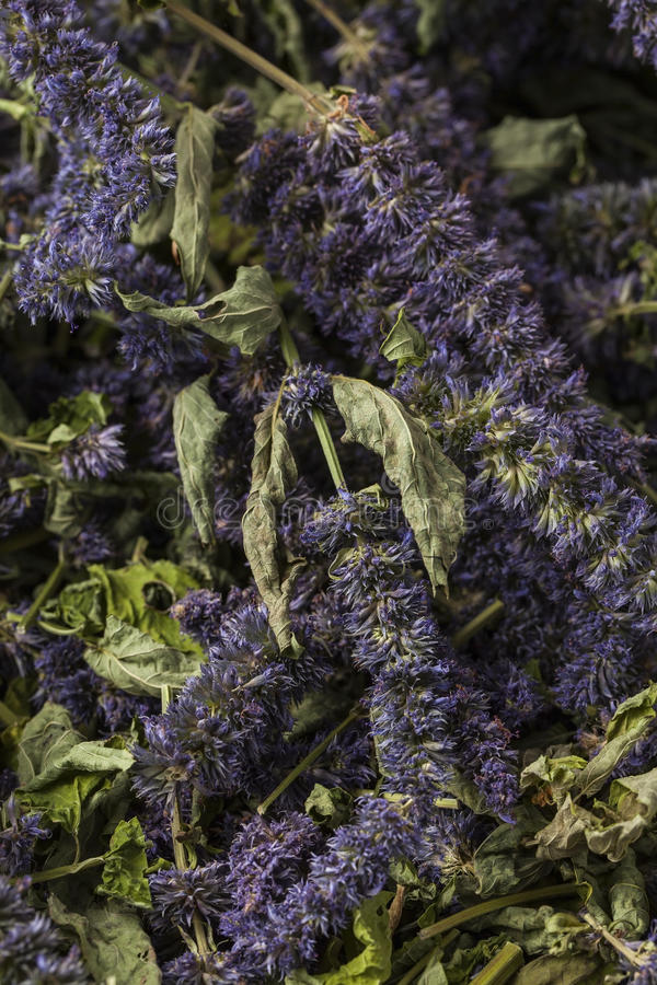Anise hyssop. Agastache foeniculum. Already dried to make relaxing tea royalty free stock photo