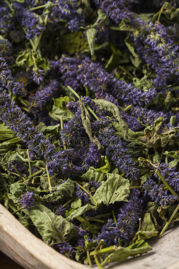 Anise hyssop. Agastache foeniculum. Already dried to make relaxing tea stock image