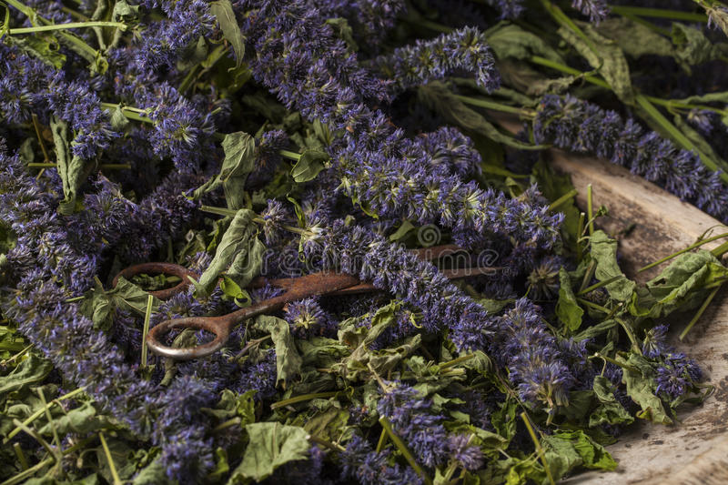 Anise hyssop. Agastache foeniculum. Already dried to make relaxing tea stock photo
