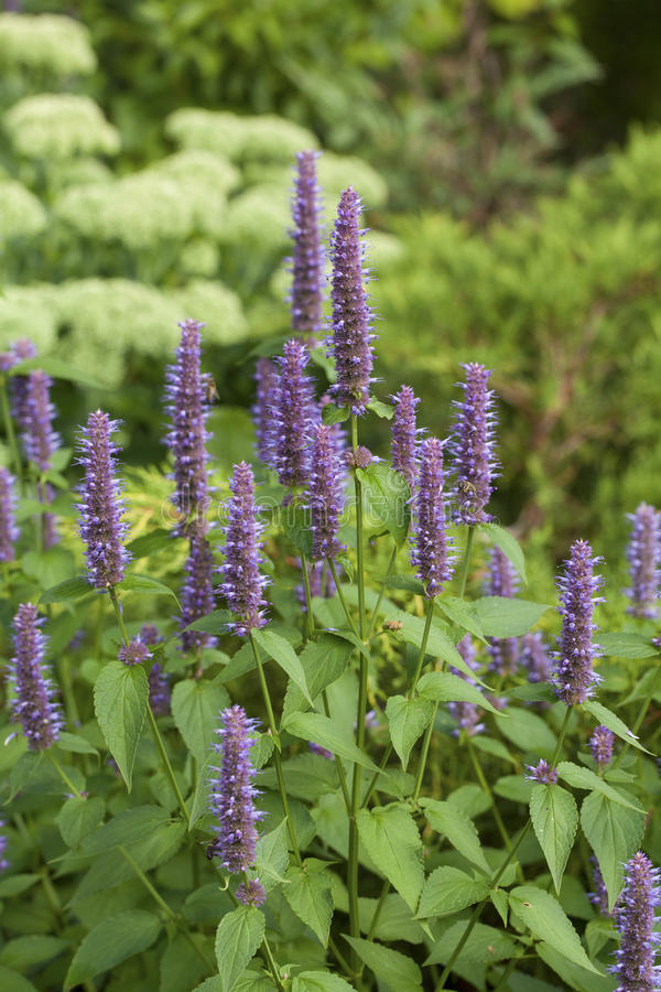 Anise hyssop royalty free stock photo