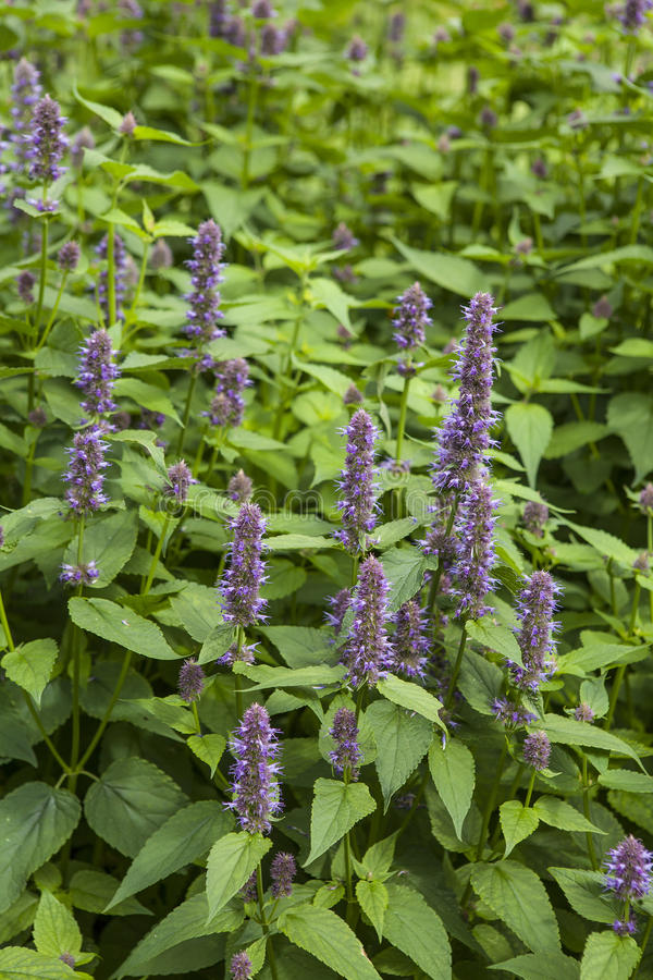 Anise Hyssop royalty free stock photos