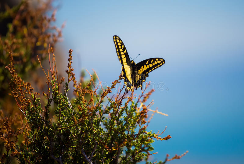 Download Anise Swallowtail stock photo. Image of butterfly, animal - 26467236