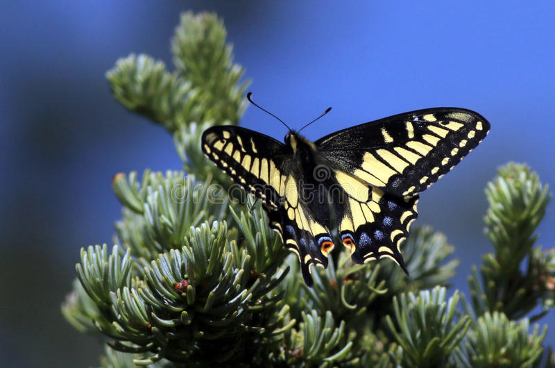 Anise Swallowtail Butterfly Resting. AnAnise Swallowtail Butterfly resting on a tree stock photos