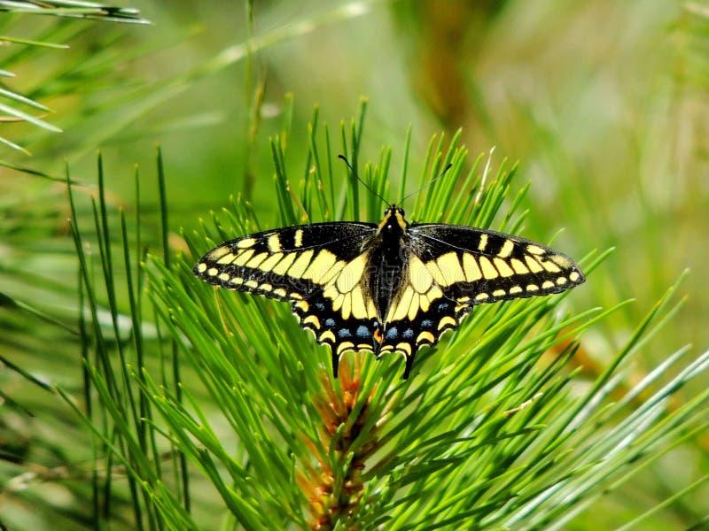 Anise Swallowtail Butterfly Shasta-Treenighet nationalskog, nordliga Kalifornien arkivfoton