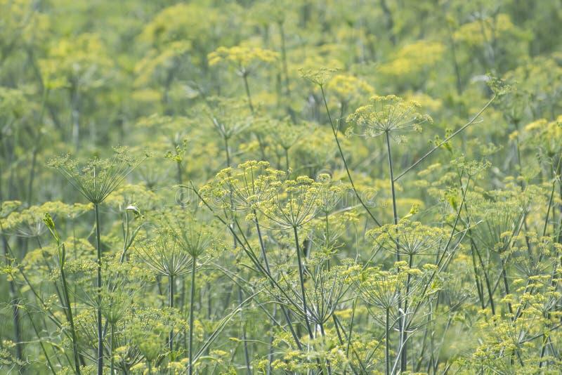 Aniseed Plants stock photos
