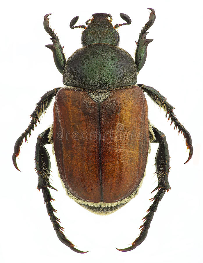 Anisoplia agricola,五谷的虫,隔绝在白色 免版税图库摄影