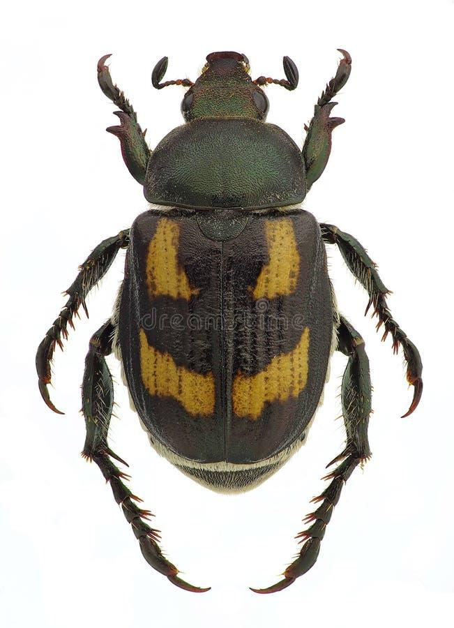 Anisoplia agricola,五谷的虫 免版税库存图片