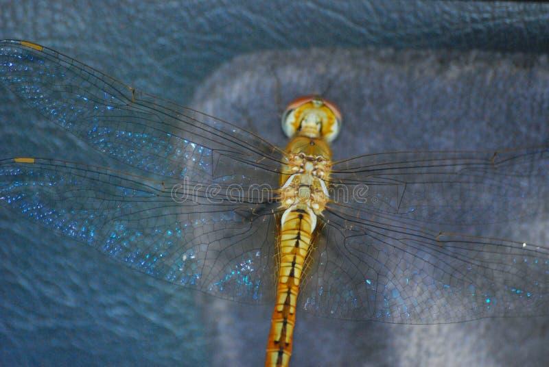 Anisoptera fotografia royalty free
