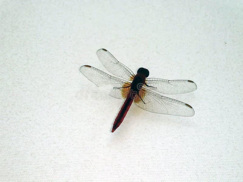 Anisoptera em uma parede branca imagem de stock