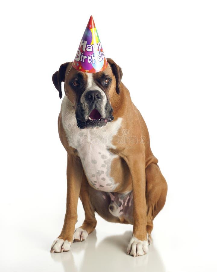 Aniversário do cão do pugilista fotos de stock