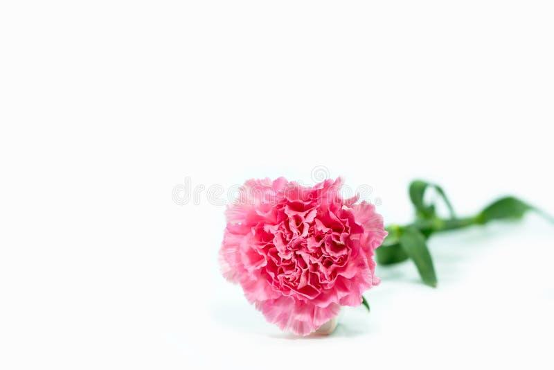 Anjersbloemen van roze op wit wordt geïsoleerd dat royalty-vrije stock foto