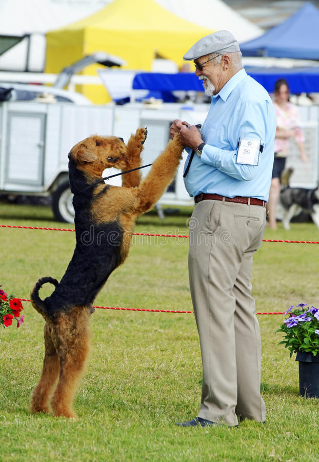 ANKC υπέρ παρουσιάζει ο εκθέτης χειριστών ότι σκυλιών που έχει τη διασκέδαση με το τεριέ Airedale του παρουσιάζει δαχτυλίδι στοκ φωτογραφίες