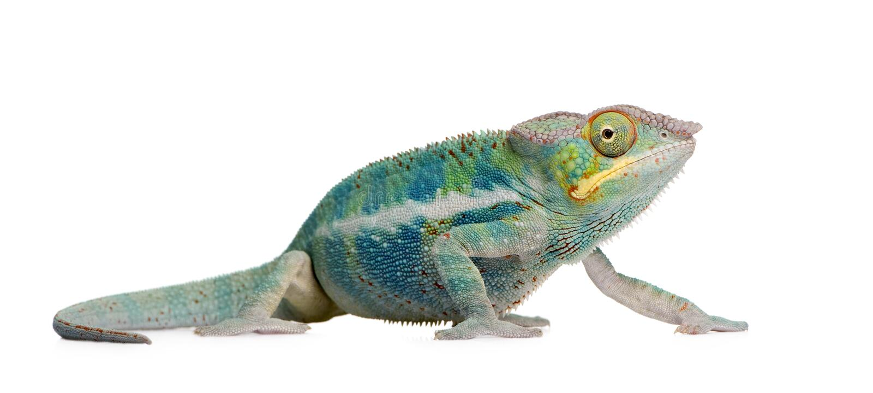 ankify变色蜥蜴新furcifer的pardalis 免版税库存图片