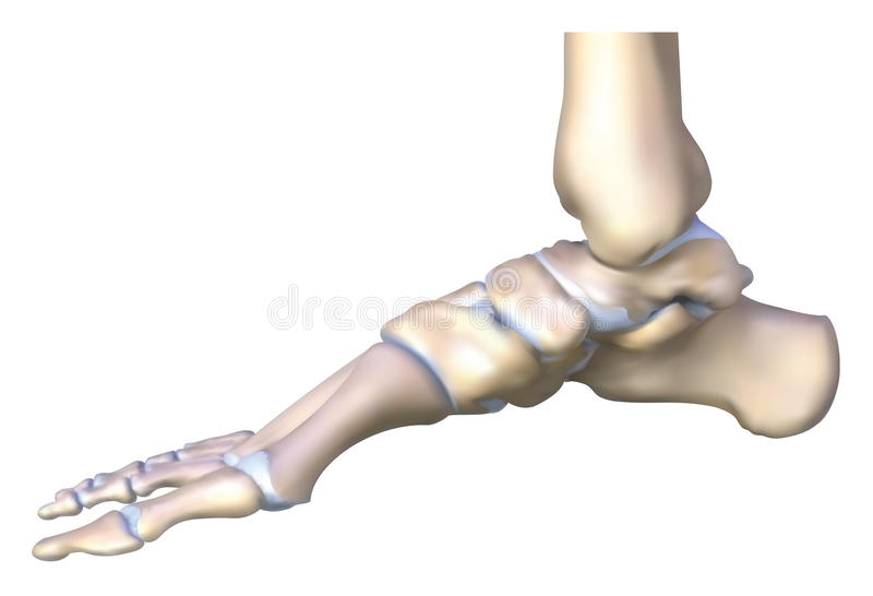 The ankle bone royalty free illustration
