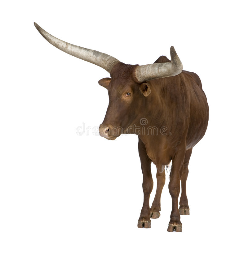 Download Ankole-Watusi stock photo. Image of horn, beef, cattle - 7136142