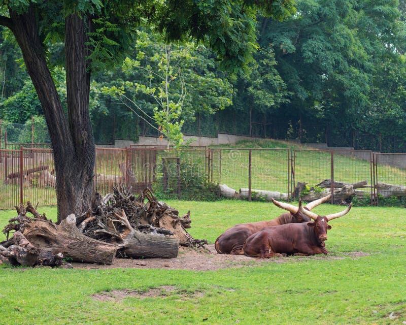 Ankole-Watusi in zoo royalty free stock photos