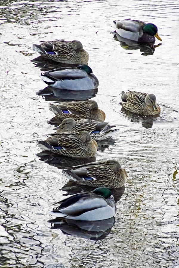 Ankor på en frostig dag sitter på vattnet Vattenhöns Det är mycket kallt royaltyfri foto