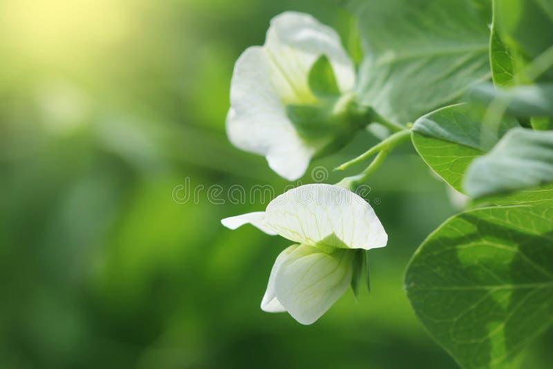 Anlage der grünen Erbse mit weißer Blume in einem Garten stockfotos