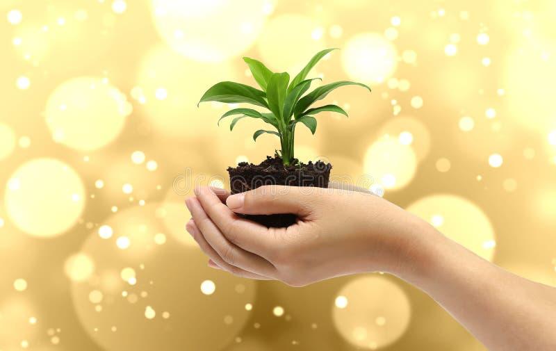 Anlage in der Hand auf Goldhintergrund lizenzfreies stockfoto