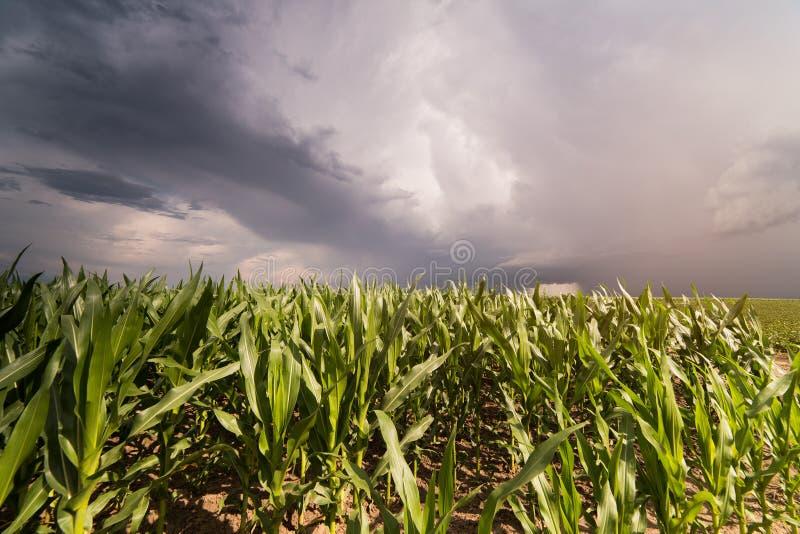 Anlage des jungen Grünkerns am stürmischen Tag stockfotografie