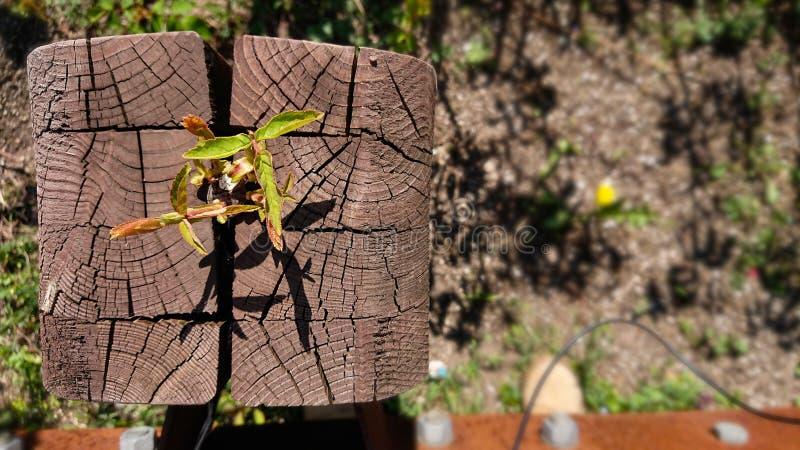 Anlage, die aus Holz heraus wächst stockfotos