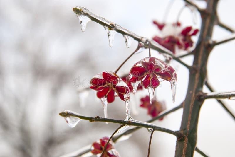 Anlage im Eis Gefrorene rote Blumen im Winter lizenzfreie stockfotos