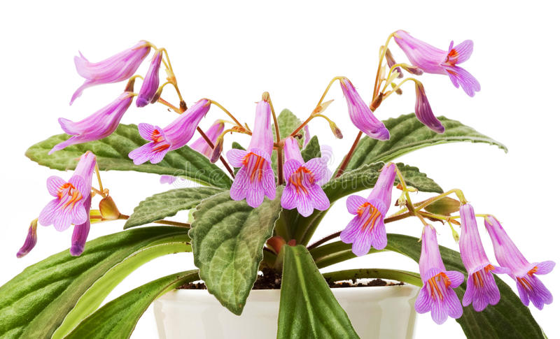 Anlage von Familie Gesneriaceae - chirita Stardust lizenzfreies stockbild