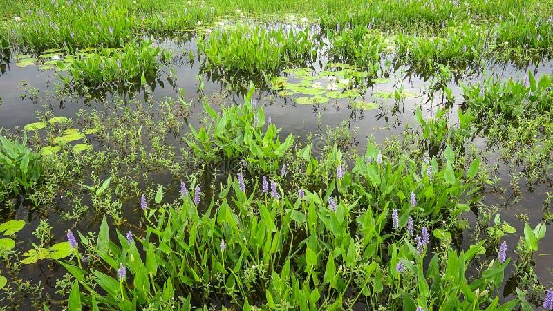 Anlagen, die in Louisiana-Sumpf wachsen stockbild