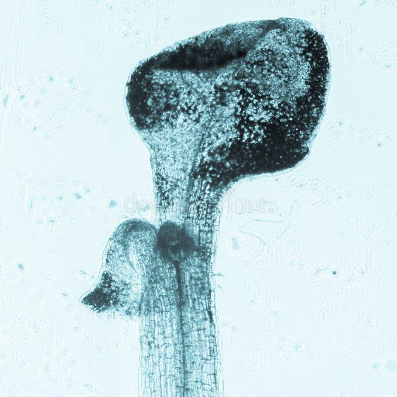 Anlagenarabidopsis thaliana Wurzel-Gewebemikro lizenzfreies stockfoto