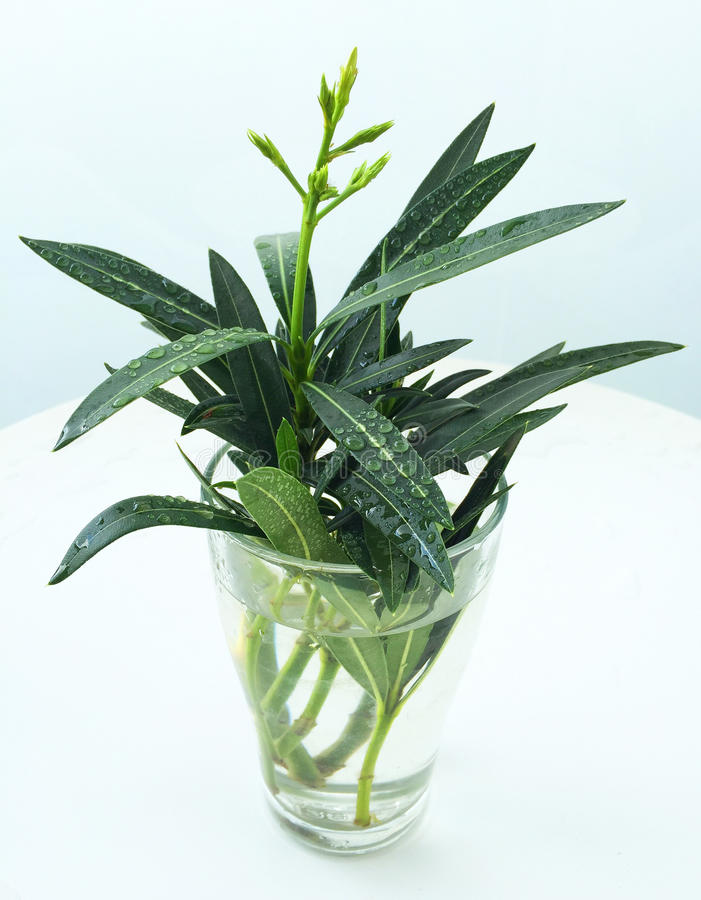 Anlagennerium-Weiß-Oleander lizenzfreie stockfotografie