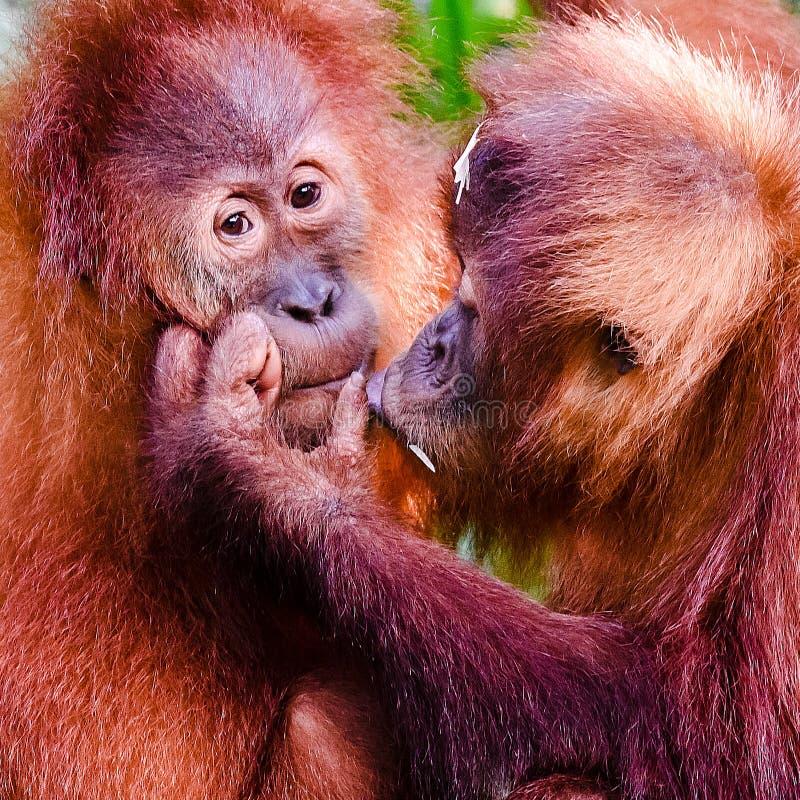 Année de singe images libres de droits