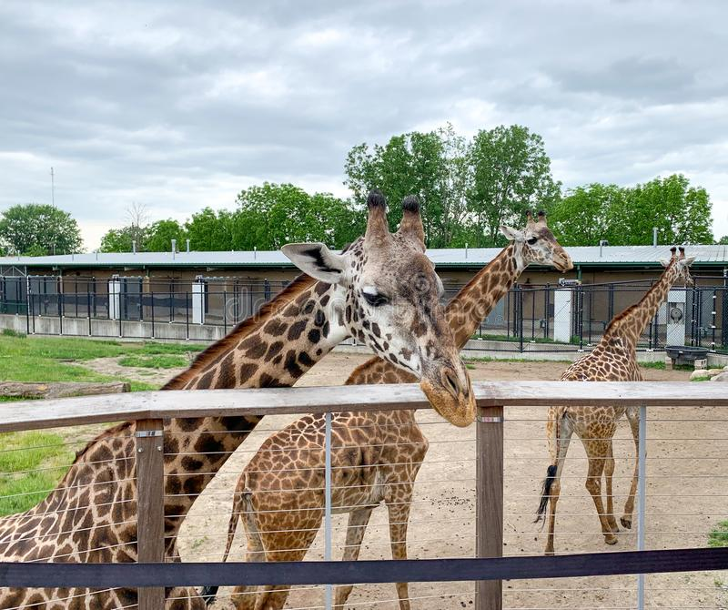 Ann Arbor, Michigan, Estados Unidos, 21 de junio de 2019: Tres jirafas en zoológico. Animales en cautiverio. Animales en el zo imagen de archivo libre de regalías