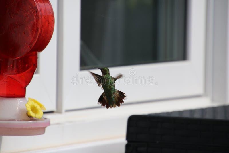 Anna& x27; колибри s причаливая красному фидеру колибри стоковые изображения
