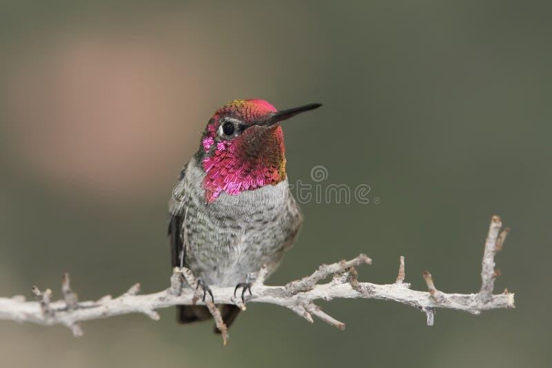 anna annas calypte hummingbird obrazy stock