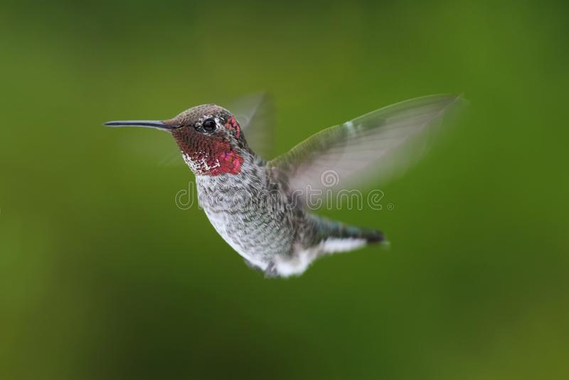 anna annas calypte hummingbird zdjęcie royalty free