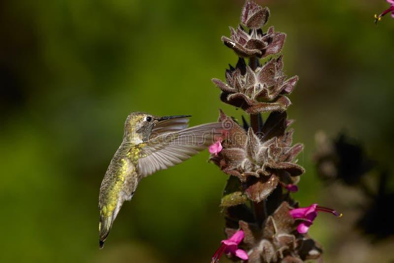 anna calypte hummingbird s obraz stock