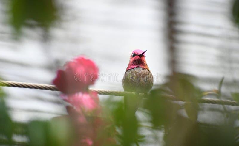Anna Hummingbird na drucie z różami obrazy stock