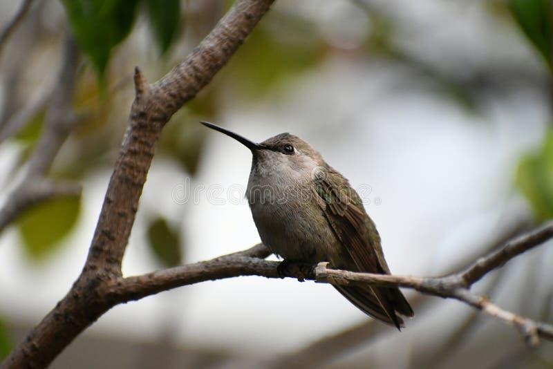 Anna Hummingbird na gałąź obraz stock